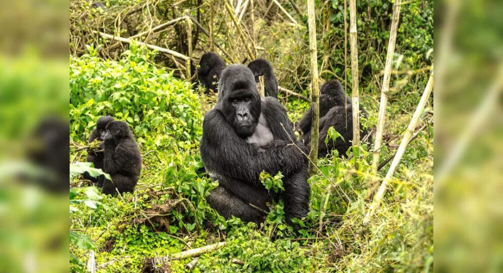 COVID-19: ¿Qué tan seguro es acercarse a los animales salvajes?  Los gorilas del zoológico de Atlanta en los EE. UU. Dan positivo por coronavirus