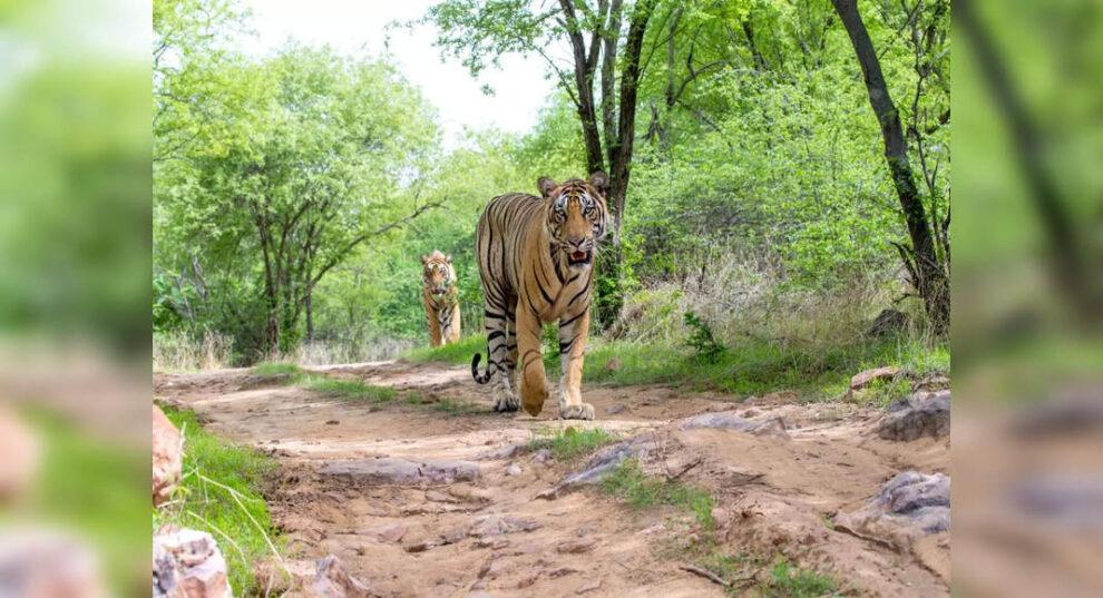 Global CA / TS reconoce 14 reservas de tigres indios por su buena conservación